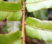 Blechnum minus - Soft Water-fern - Pinnae