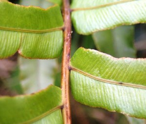 Blechnum minus - Soft Water-fern - Pinnae