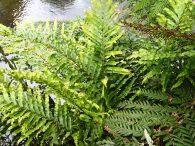 Blechnum minus - Soft Water-fern