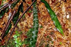 Blechnum patersonii - Strap water-fern
