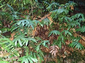 A typical colony of Hard Water-fern - Blechnum Wattsii