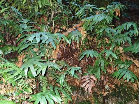 A typical colony of Hard Water-fern - Blechnum Wattsii