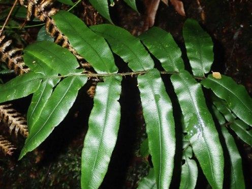Blechnum wattsii - Hard Water-fern - Frond