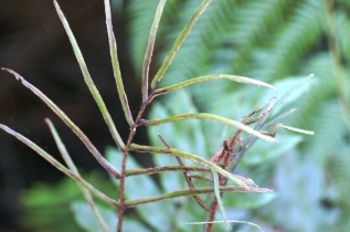 Blechnum wattsii - Hard Water-fern - Fertile Frond
