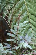 Blechnum wattsii - Hard Water-fern