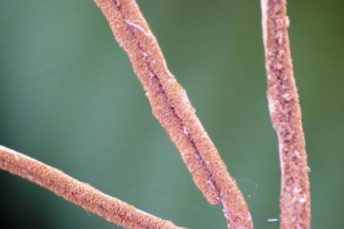 Blechnum wattsii - Hard Water-fern - Fertile Pinnae