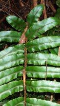 Lower Pinnae of Hard Water-fern