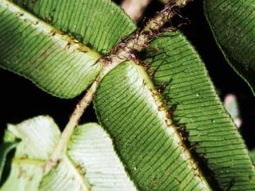 Blechnum wattsii - Hard Water-fern - Pinnae