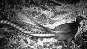 Evening Lyrebird