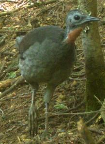 Female Lyrebird