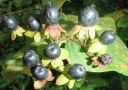 Hypericum androsaemum - Tutsan
