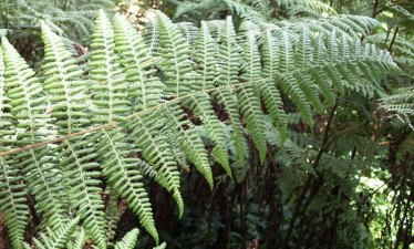 Hypolepis glandulifera - Downy Ground-fern