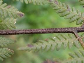 Red brown Stem (Rachis)