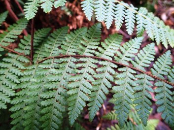 Hypolepis rugulosa - Ruddy Ground Fern