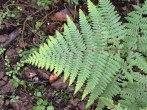 Hypolepis rugulosa - Ruddy Ground Fern
