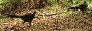 Pair of Lyrebirds