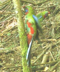 Pair of young Crimson Rosellas