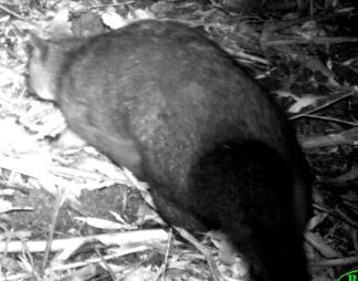 Rear of a Brush-tail Possum
