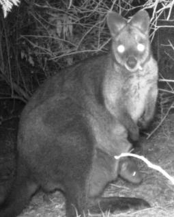 Swamp Wallaby with Passenger