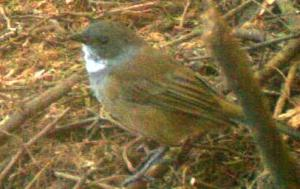 Unidentified Bird.jpg possibly grey shrike thrush