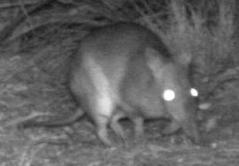 Very Long-nosed Bandicoot