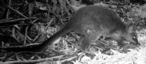 Young Swamp Wallaby