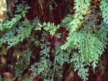 Hymenophyllum australe - Austral filmy-fern