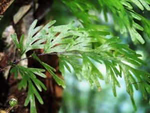 Hymenophyllum flabellatum - Shiny Filmy-fern