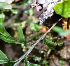Hymenophllum rarum - Narrow-leaf Filmy-fern