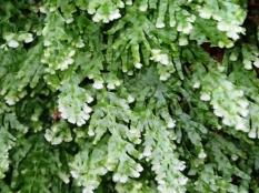 Polyphlebium venosum - Veined Bristle-fern