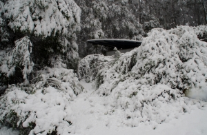 Shrubs struggling under the weight of the snow