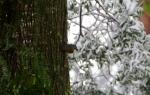 Eastern Yellow Robin not enjoying the snow.