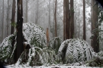 Tree fern fronds bending down under the weight of the snow.