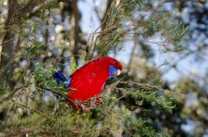 Colourful Crimson Rosella