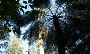 Blue sky above the Tree Ferns