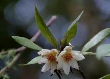 Atherosperma moschatum - Southern Sassafras