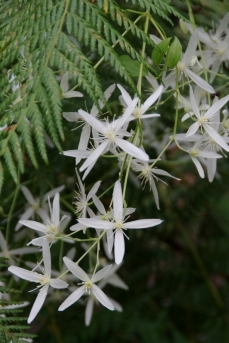 Clematis glycinoides - Forest Clematis