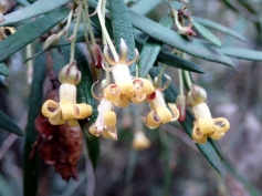 Pittosporum bicolor - Banyalla