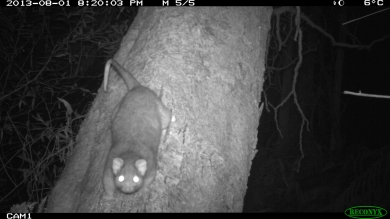 Ringtail Possum
