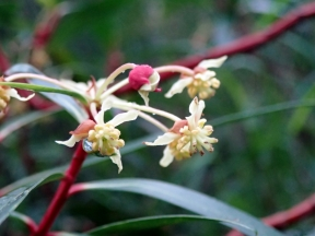 Tasmannia lanceolata - Mountain Pepper