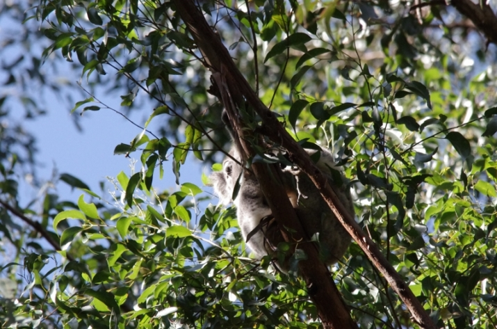 Koala in Tarra Bulga