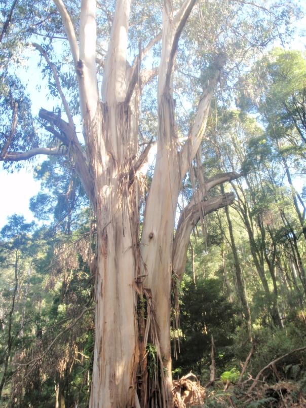 Local Koala Food Tree - Mountain Grey Gum