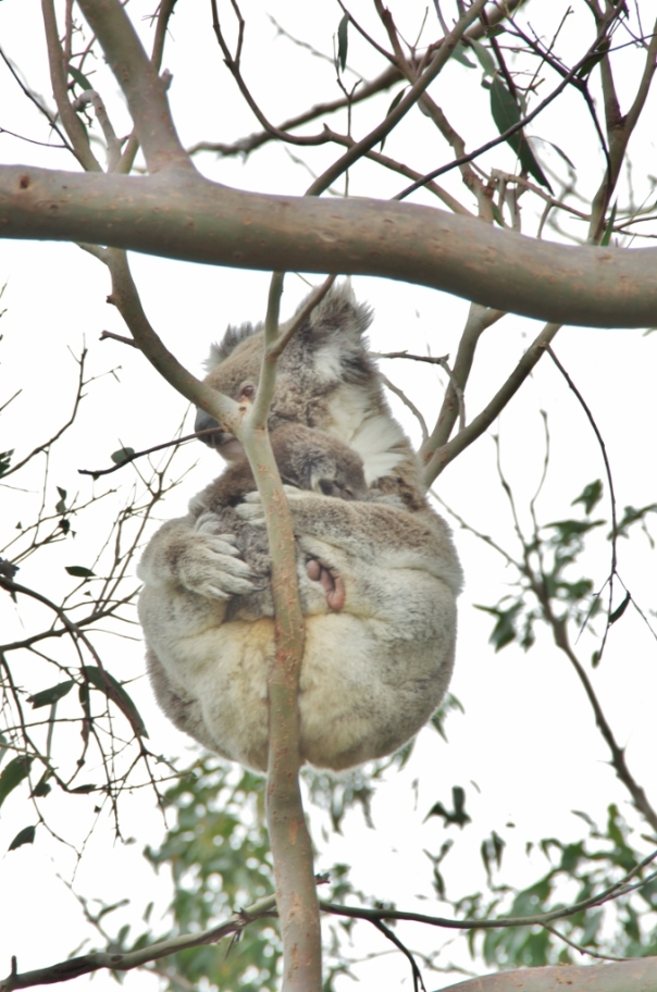 Koala mother in a defoliated tree in at Cape Otway