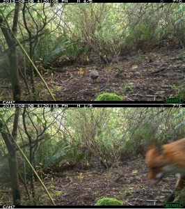 Brush Bronzewing and a Fox