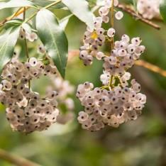 Polyscias sambucifolia - Elderberry Panax