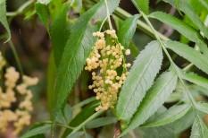 Sambucus gaudichaudiana - White Elderberry