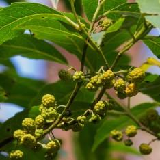 Hedycarya angustifolia - Austral Mulberry
