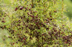 Prickly Coprosma full of red berries