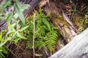 Another log microhabitat providing a great site for fern regeneration.