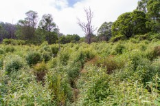 Overall view of site, showing the mass regeneration of shrubby understorey.